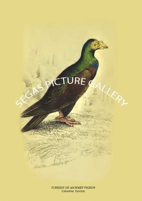 Fine art print of the TURKISH OR MAWMET PIGEON - Columba Turcica by the artist Prideaux John Selby (1845-46)